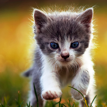 Kitten vaccination course