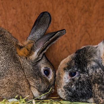 Rabbit Castration