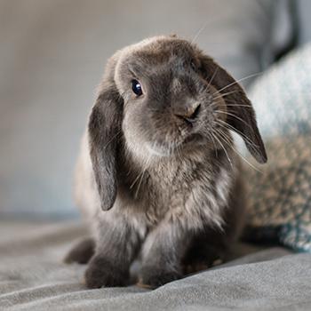 Rabbit Spay