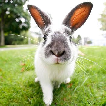 Rabbit Annual Vaccination