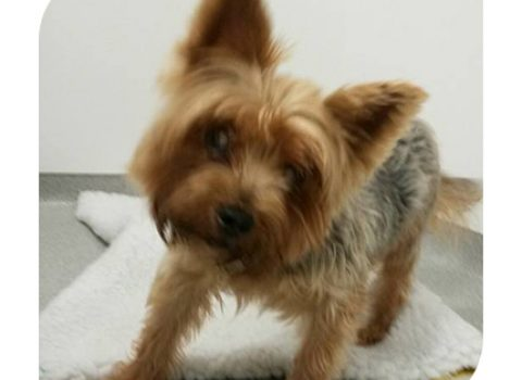 The lost Yorkshire Terrier