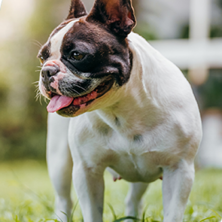 Everything you need to know about Brachycephalic Obstructive Airway Syndrome